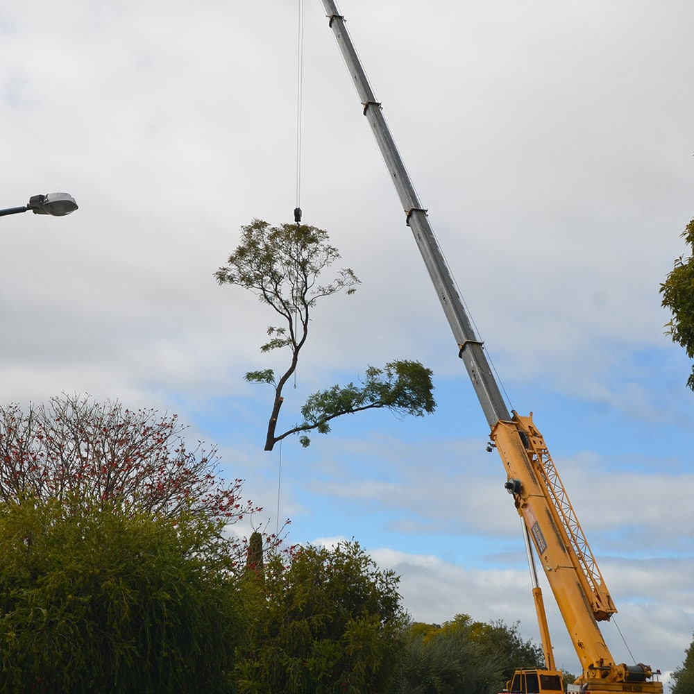 Complex Tree Removal in Perth Suburb